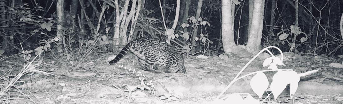 Camera trap photo of felid in Yucatan