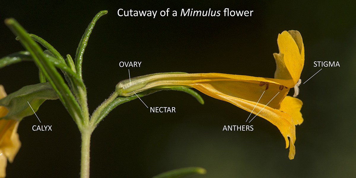 Cutaway of a Mimulus aurantiacus flower