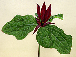 Trillium chloropelalum - Watercolor by Herb Dengler