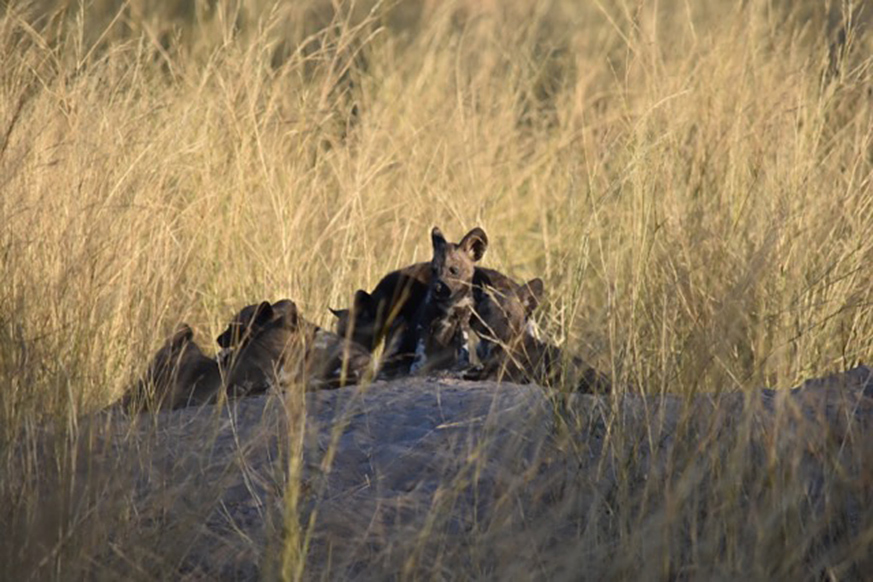 Wild dog puppies in Botswana