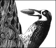Acorn Woodpecker by Eliza Jewett