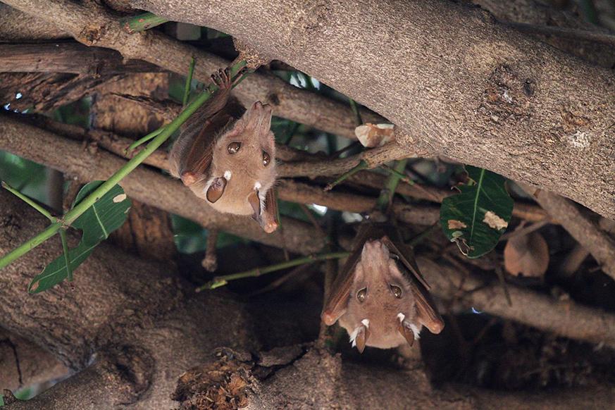 Epauletted Fruit Bats