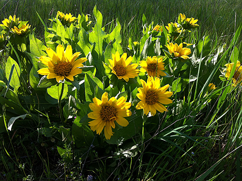 Wyethia glabra in bloom at Jasper Ridge Biological Preserve