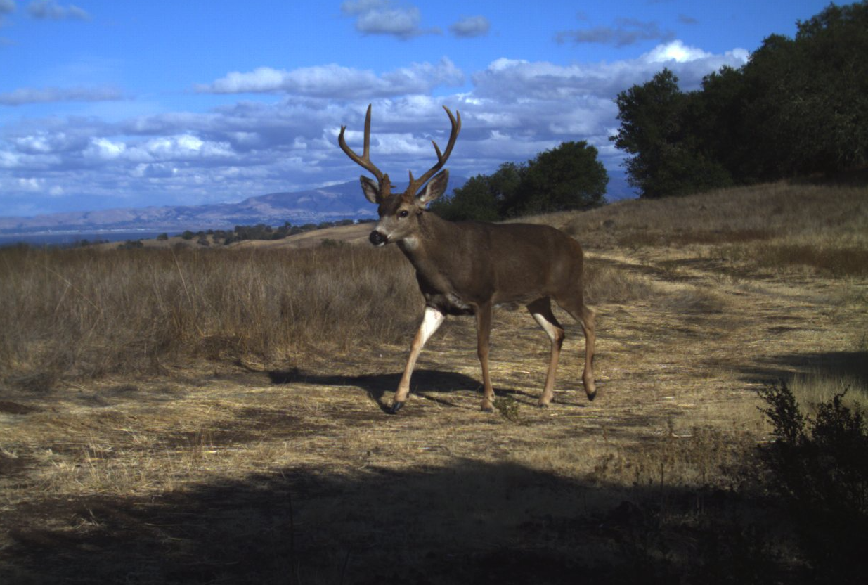 Black-tailed deer buck at Jasper Ridge