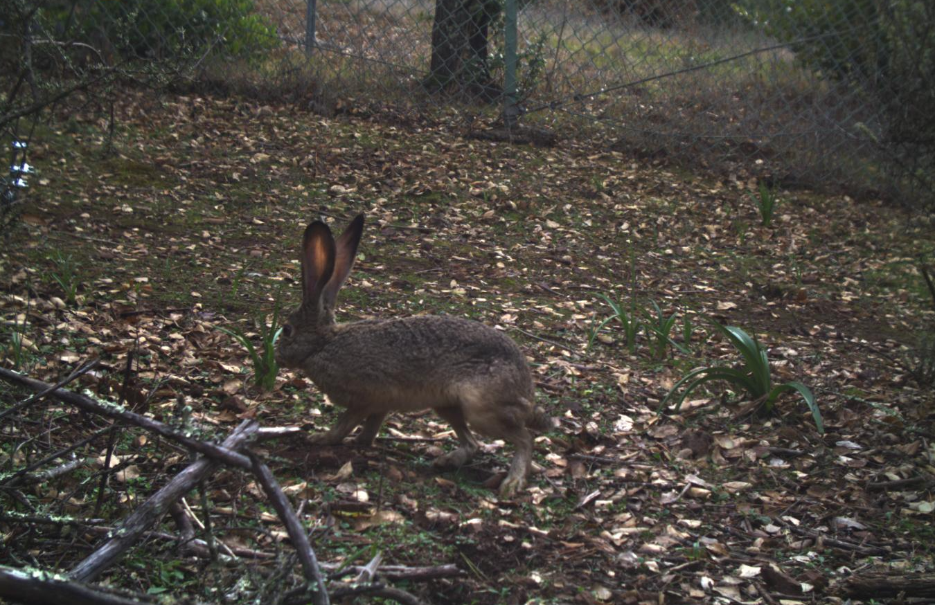 Black-tailed jackrabbit at Jasper Ridge
