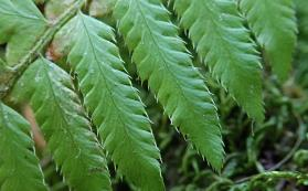 Polystichum californicum, a new native hybrid fern
