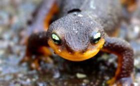 California newt (Taricha torosa) from front cover of JRBP annual report