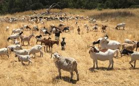 Goats grazing at Jasper Ridge