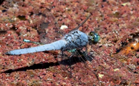 Photo of dragonfly taken by Jack Owicki at Jasper Ridge.