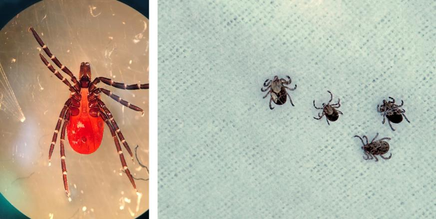 Left: underside of adult female western black-legged tick. Right: cloth with ticks clinging