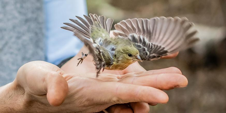 Lesser Goldfinch being released after being fitted with a bird band