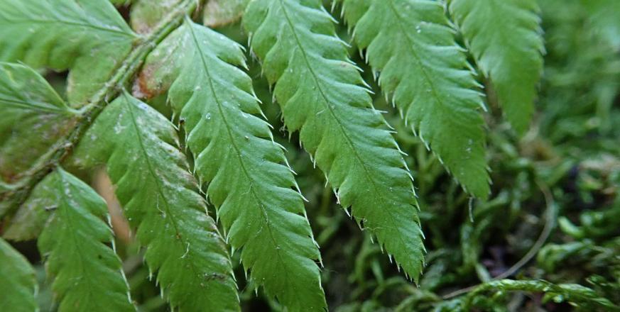 Polystichum californicum, a new native hybrid fern