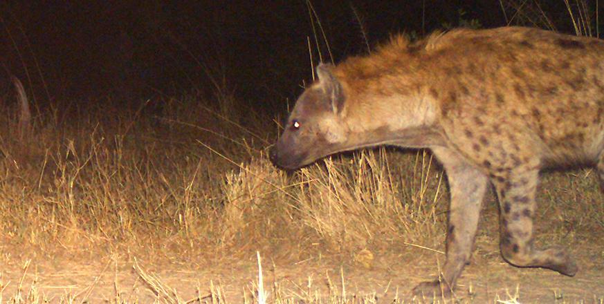 Hyena in Botswana