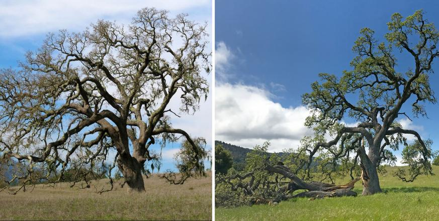 Large Valley Oak tree before and after loss of largest limb
