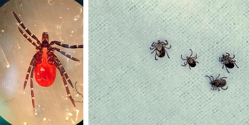 Know your tick: Jasper Ridge visitors contribute to human disease research