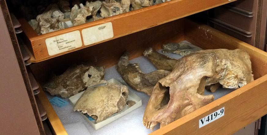 Fossils from Irvington, Alameda, and several other places in northern and southern California; part of the collections of the University of California Museum of Paleontology, photo by Anthony D. Barnosky.