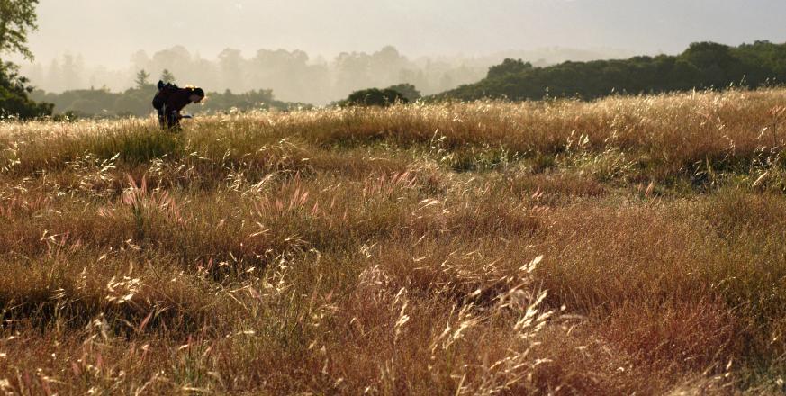 A glimpse of grass diversity on Jasper Ridge