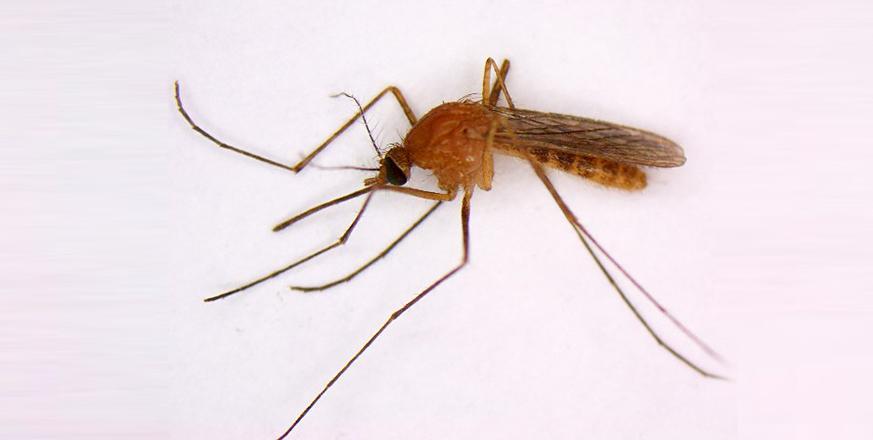 Mosquito - Culex erythrothrorax