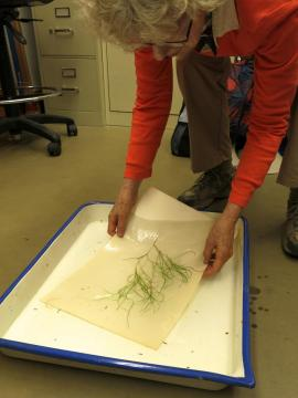 Ann Lambrecht floating a specimen for pressing and mounting