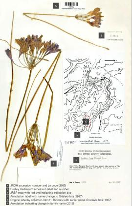 Herbarium sheet for Triteleia laxa