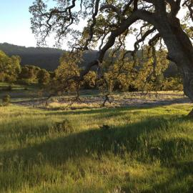 Sun sets over the famous valley oak that stands watch over the Mordecai lab's grassland fungal pathogen experiment by Erin Mordecai
