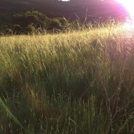 Evening light catches on native Stipa pulchra bunchgrasses in flower by Erin Mordecai