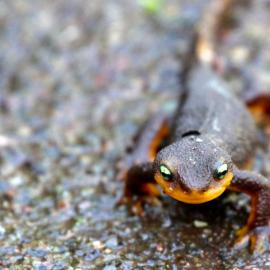 California newt (Taricha torosa) by Richard Nevle