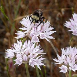 Bee on Allium amplectens NARROW-LEAVED ONION by Alice Cummings