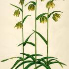Fritillaria Lanceolata
