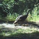 Wild turkey (Meleagris gallopavo) hen with chicks