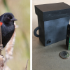 AudioMoth acoustic recorder and red-winged blackbird