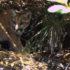 Young mountain lion at Jasper Ridge
