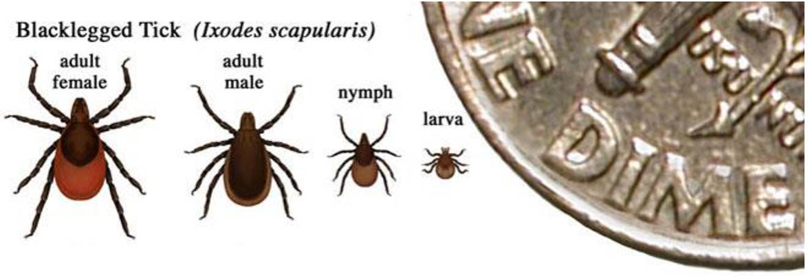 Ixodes scapularis, a tick of the Eastern U.S., similar in size to Ixodes pacificus, the Western black-legged tick.