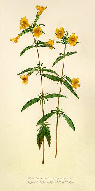 Monkey Flower