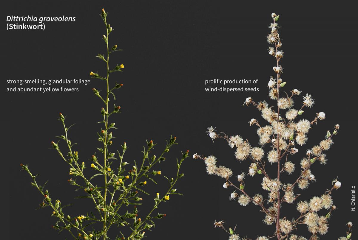 Dittrichia graveolens in flower and in seed