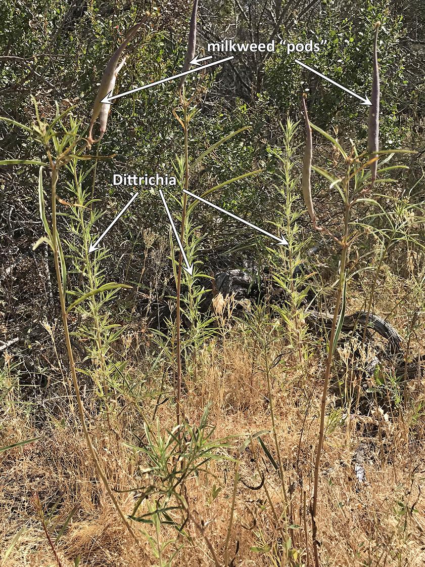Milkweed pods and Dittrichia at JRBP