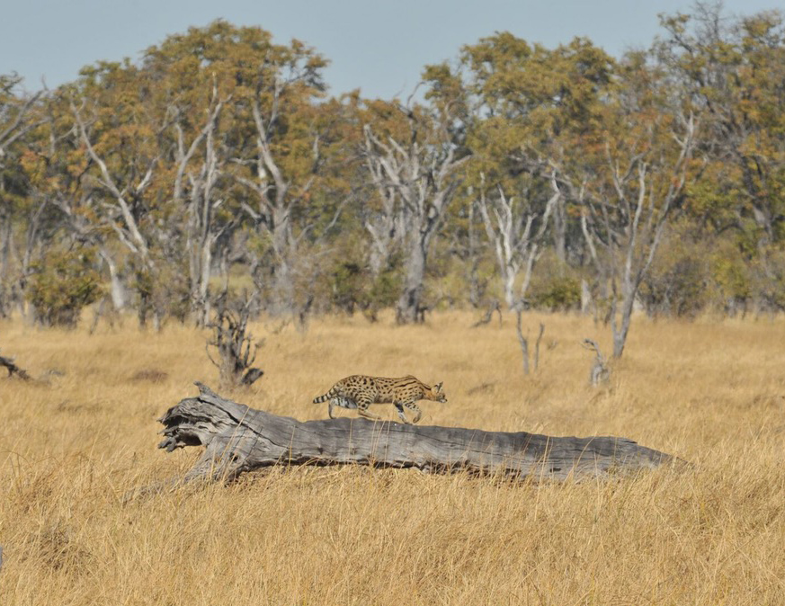 Serval cat in Botswana