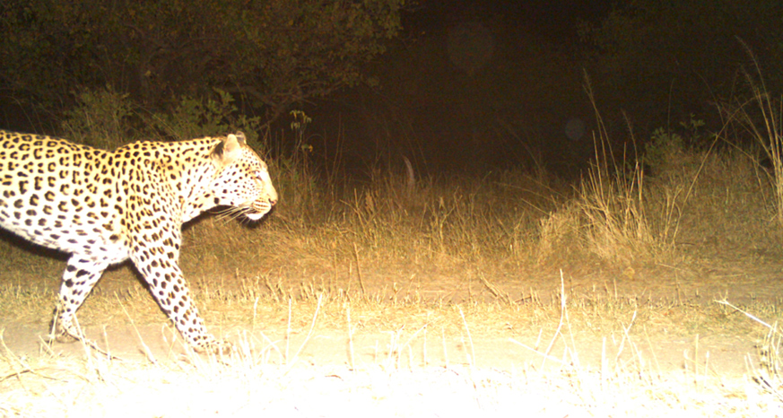 Camera trap photo of a leopard in Botswana