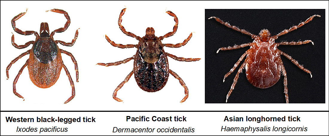 Figure 1. The western black-legged tick, the Pacific Coast tick, and the Asian longhorned tick. Image from the Centers for Disease Control and Prevention (CDC).