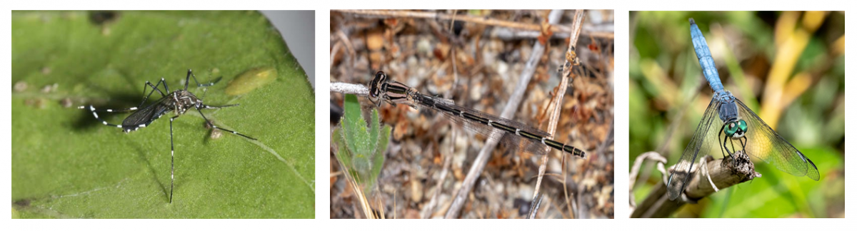 Figure 2. Examples of mosquito, damselfly and dragonfly (photos by Jack Owicki)