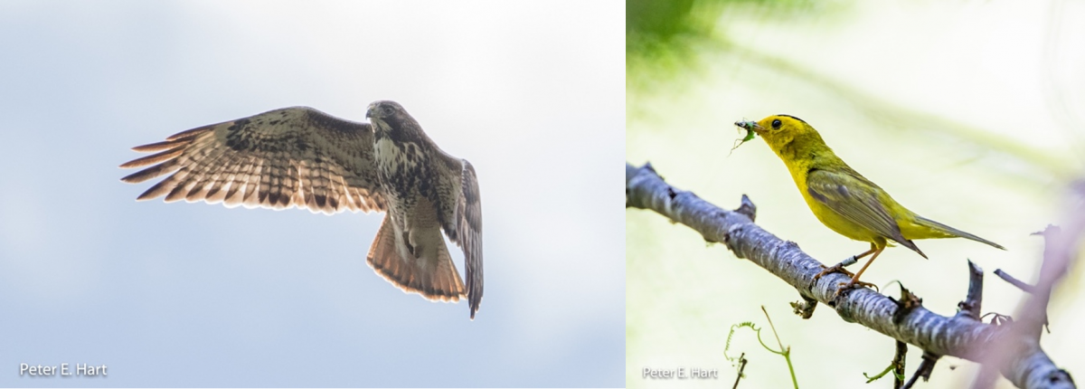 Red-tailed hawk, Abieticola sub-species and Wilson's warbler