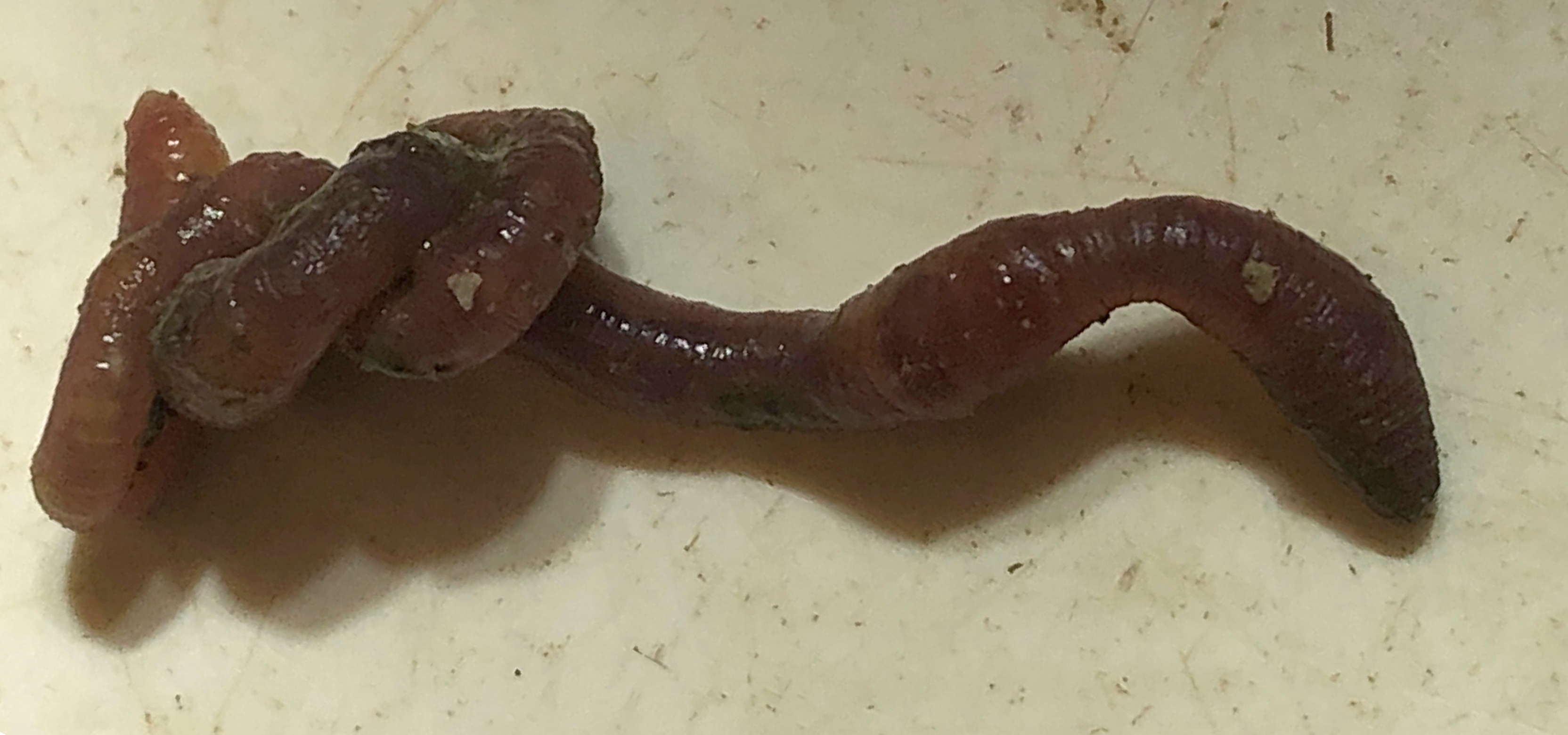 Earthworm from soil Jasper Ridge core.