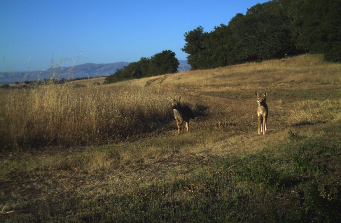 Coyotes at Jasper Ridge