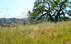 savanna grassland at Jasper Ridge (photo credit: Reuben Brandt)