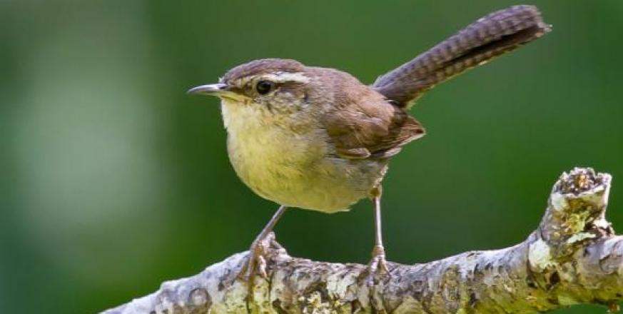 Bewick's wren at Jasper Ridge