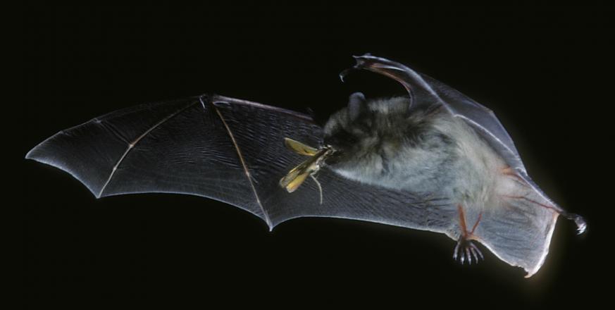 Myotis californicus - photo by Merlin D. Tuttle