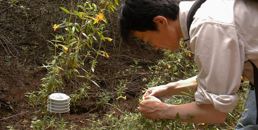 Prof Tad Fukami studying flowers of Mimulus shrubs at Jasper Ridge