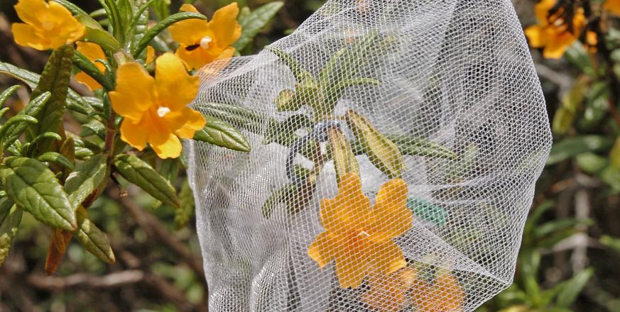 flowers of sticky monkey flower, Mimulus aurantiacus, with and without netting to exclude pollinators