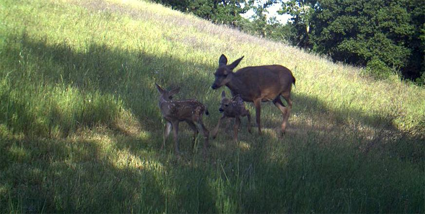 Fawns at Jasper Ridge