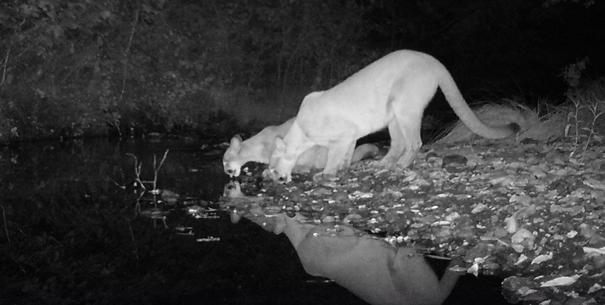 Mountain lions drinking from San Francisquito Creek at Jasper Ridge Biological Preserve